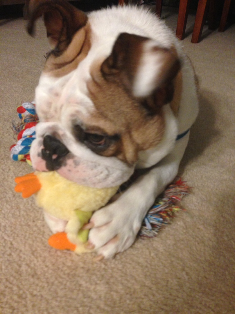 Bulldog chewing on dog toy while laying on top of another toy.