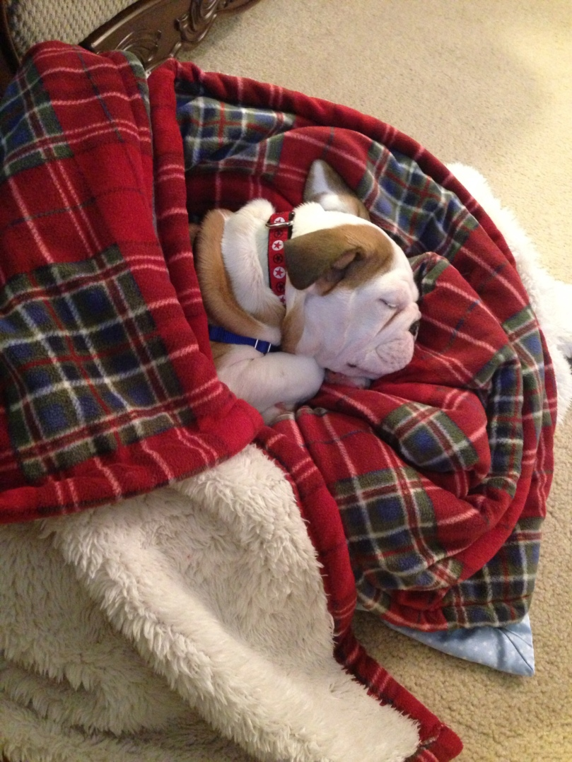 Sleeping bulldog puppy wrapped in a blanket